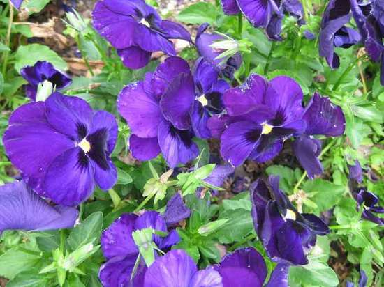Pansy-Purple-flower-selection