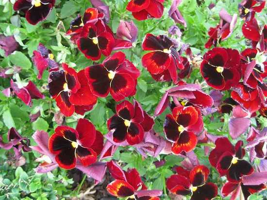 Pansy-red-flower-selection