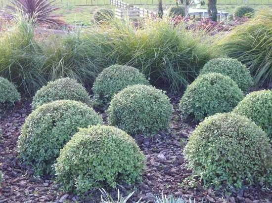 Pittosporum-Golfball-planting-selections