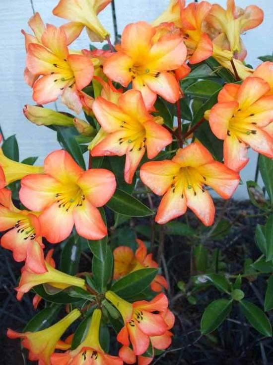Rhododendron-Vireya-planting-selections