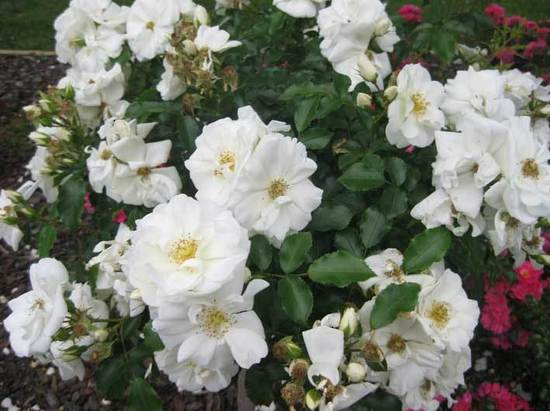 Carpet-Rose-White-flower-gallery